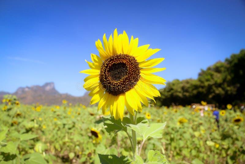 зацветая солнцецвет стоковая фотография