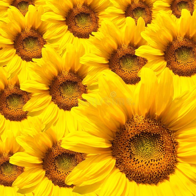 зацветая солнцецвет стоковое фото rf