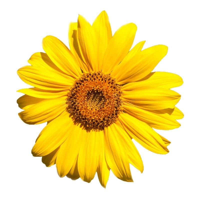 зацветая солнцецвет стоковая фотография rf