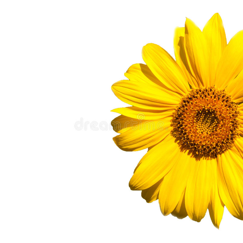 зацветая солнцецвет стоковые изображения