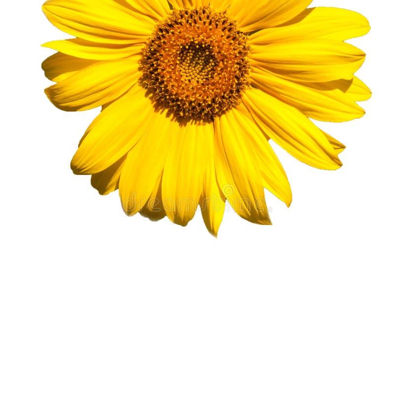 зацветая солнцецвет стоковые изображения rf
