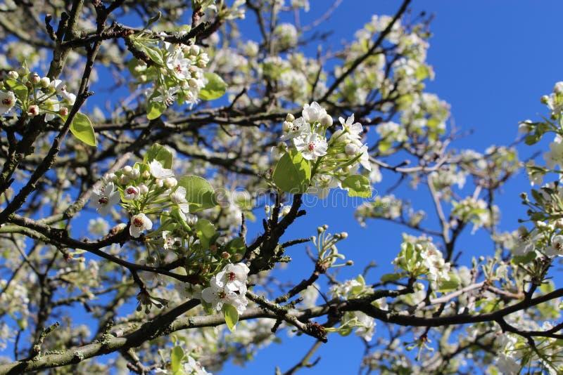 Зацветая старая дикая яблоня на предпосылке голубого неба весны стоковые изображения rf