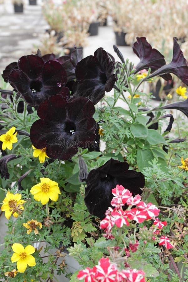Зацветая темный цветок петуньи с зеленым цветом выходит в сад Темный фиолетовый цветочный узор петуньи стоковое фото rf