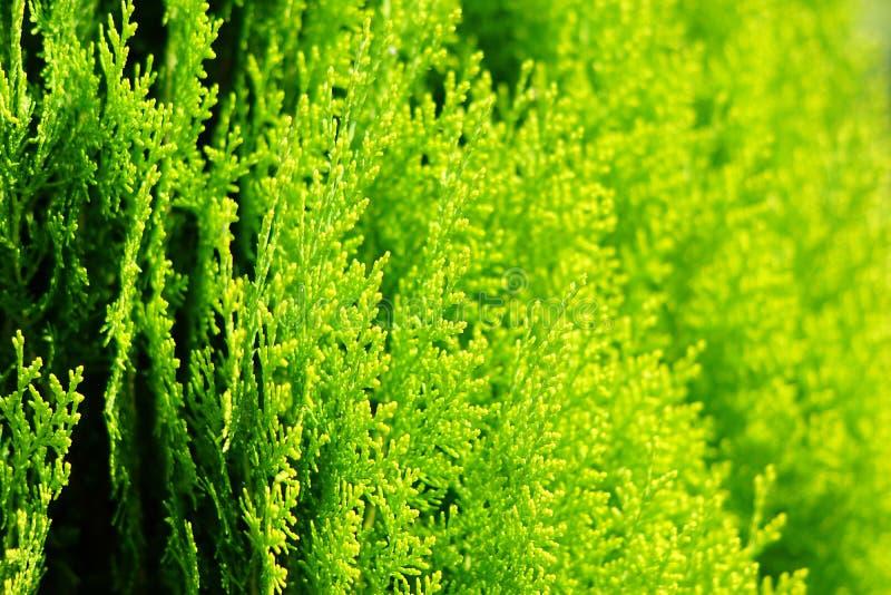 Зацветая туя в саде в городе стоковое изображение rf