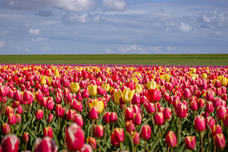 Зацветая тюльпаны во время весны стоковое фото rf