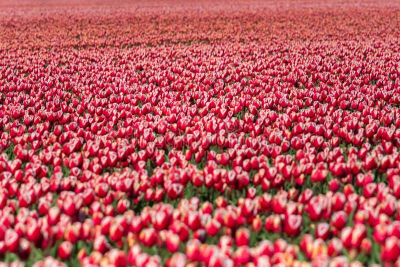 Зацветая тюльпаны во время весны стоковое изображение