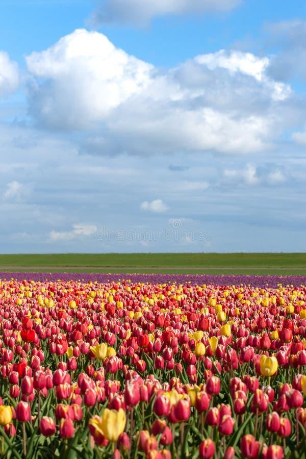Зацветая тюльпаны во время весны стоковая фотография rf