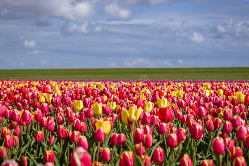 Зацветая тюльпаны во время весны стоковая фотография