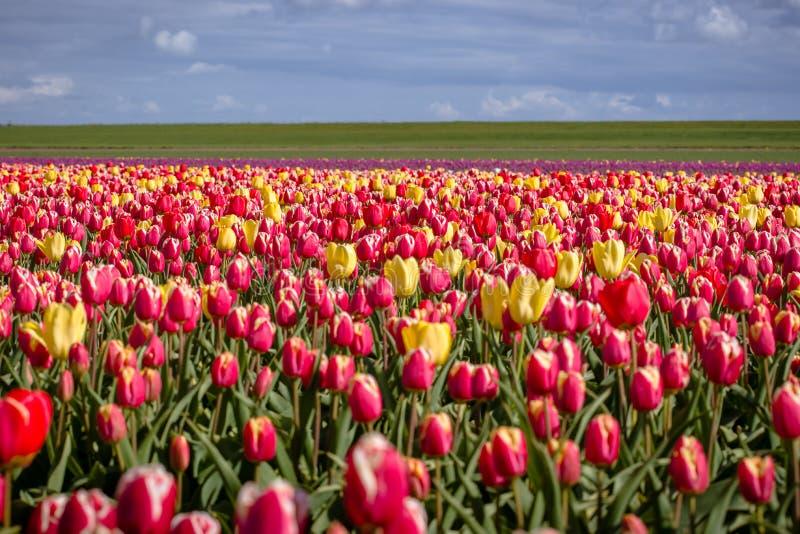 Зацветая тюльпаны во время весны стоковые изображения