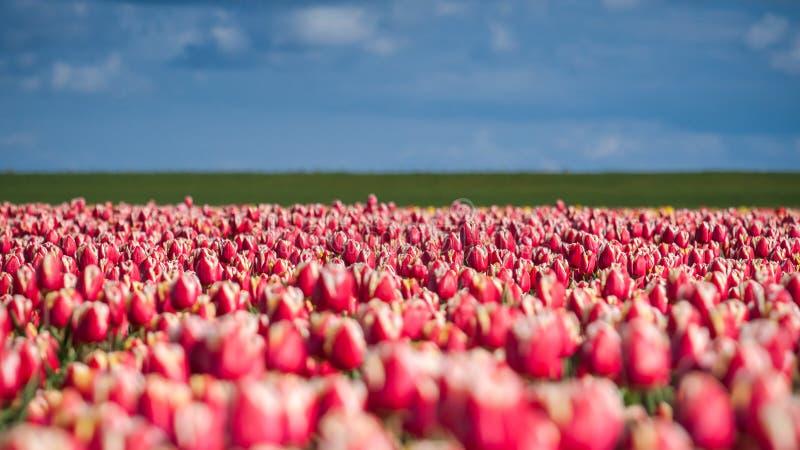 Зацветая тюльпаны во время весны стоковое изображение rf