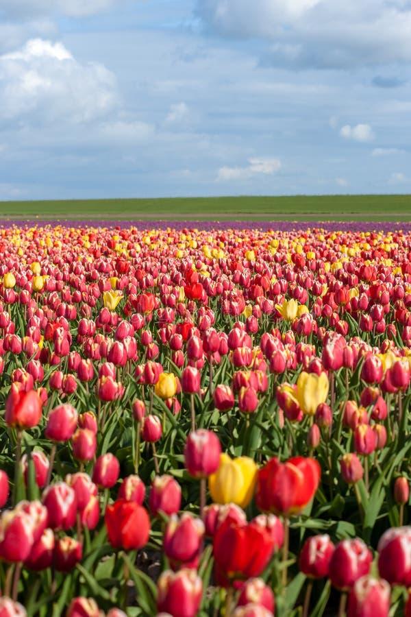 Зацветая тюльпаны во время весны стоковые фото