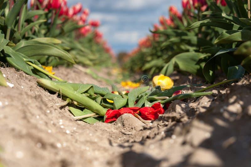 Зацветая тюльпаны во время весны стоковые изображения rf