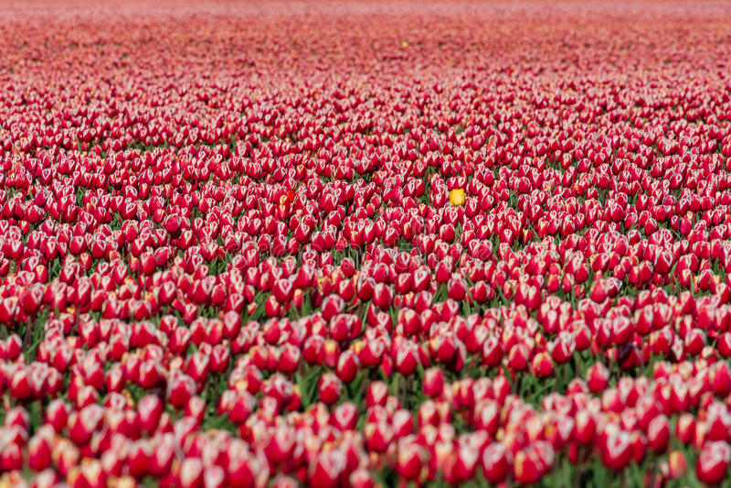 Зацветая тюльпаны во время весны стоковые фотографии rf