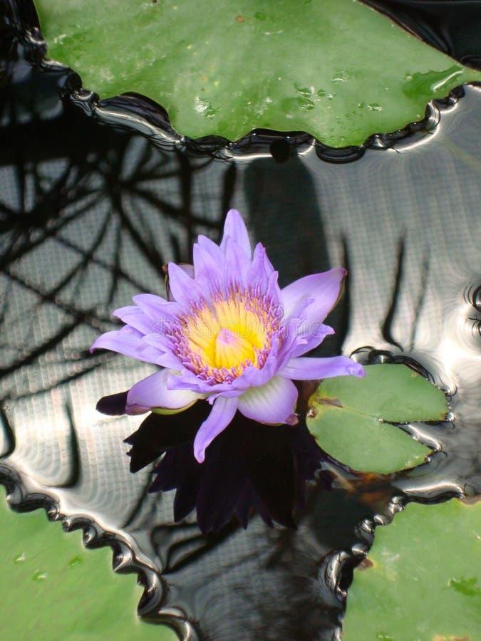 Зацветая фиолетовая тропическая лилия воды Пурпур Colorata Nymphaea стоковые фотографии rf
