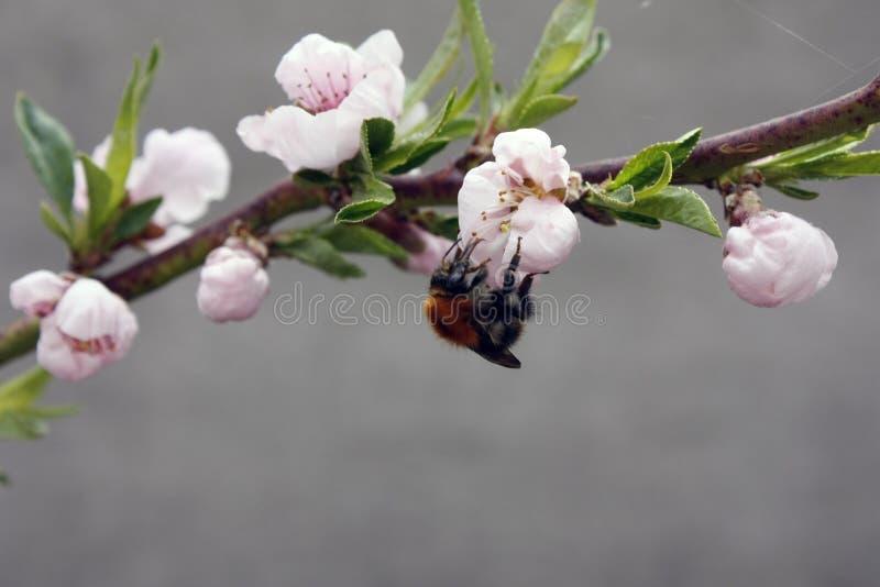 Зацветая фруктовое дерево с пчелой на бело-розовом цветке Запачканная предпосылка, ясный солнечный весенний день r стоковое фото rf