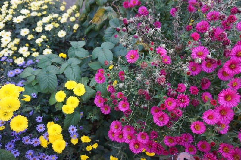 Зацветая хризантемы осени других цветов стоковое фото