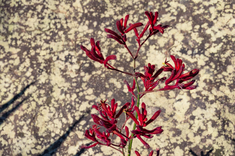 Зацветая цветки лапки кенгуру стоковое фото