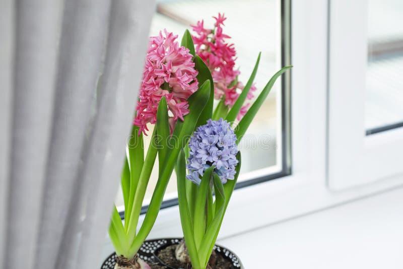 Зацветая цветки гиацинта весны на windowsill дома стоковые фотографии rf