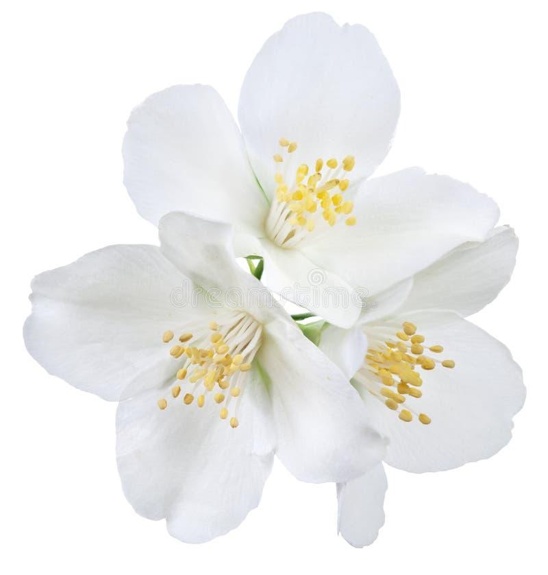 Зацветая цветки жасмина стоковые изображения rf