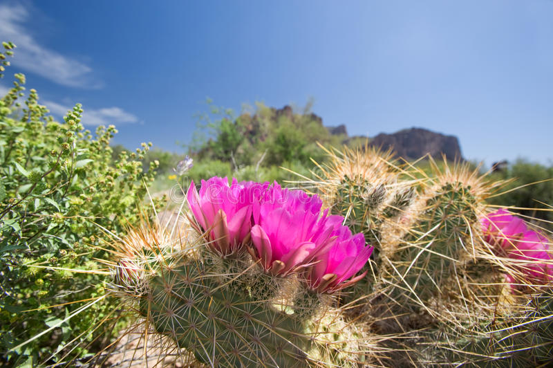 зацветая цветки кактуса стоковые изображения