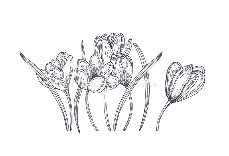 Зацветая цветки крокуса весны изолированные на белой предпосылке Шикарное сезонное цветковое растение сада иллюстрация конструкци иллюстрация вектора