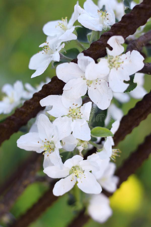 Зацветая цветки Яблока на конце-вверх ветви стоковое фото rf