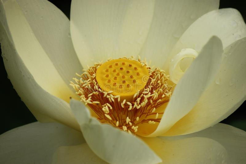 Зацветая цветок белого лотоса после дождя лета стоковое изображение rf