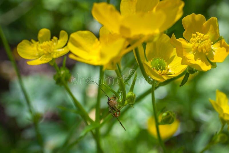 Зацветая цветок весной, лютик, crowfoot, лютик стоковые фото