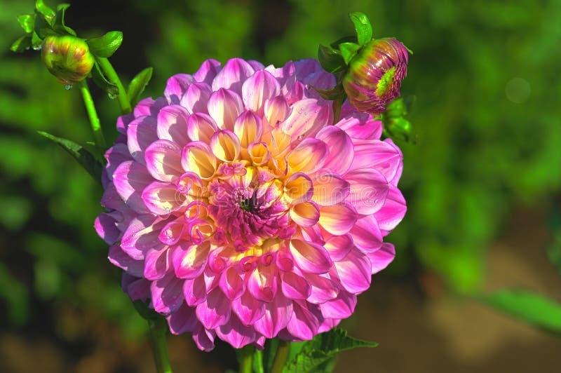 Зацветая цветок георгина и 2 малых бутона стоковая фотография rf