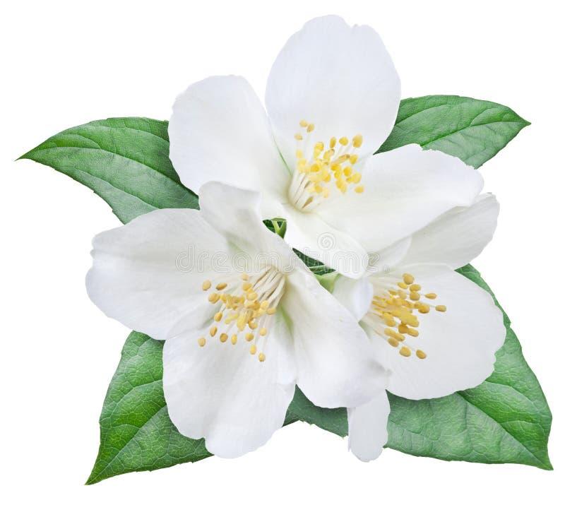 Жасмин цветок картинка для детей