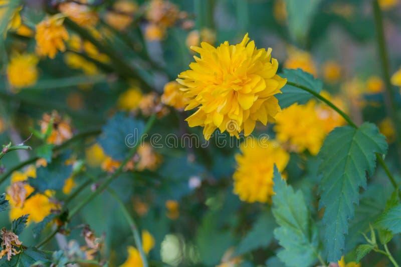 Зацветая цветок одуванчика стоковое изображение rf