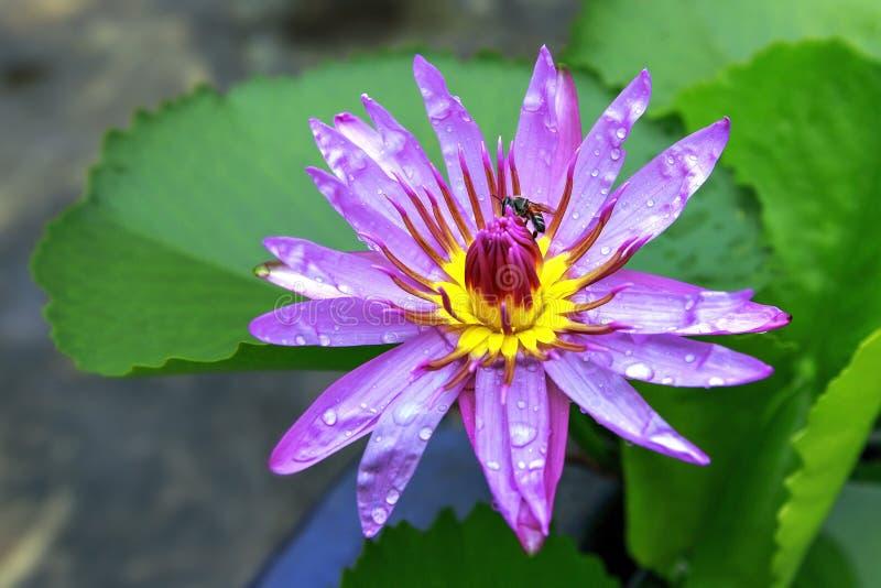 Зацветая цветок лотоса в пруде стоковое изображение
