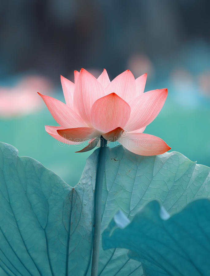 Зацветая цветок лотоса стоковое фото rf