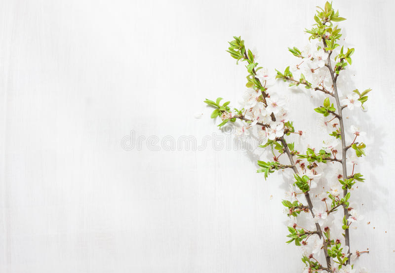 Зацветая (цветя) ветви дерева на бело- плане предпосылки с космосом свободного текста стоковые изображения