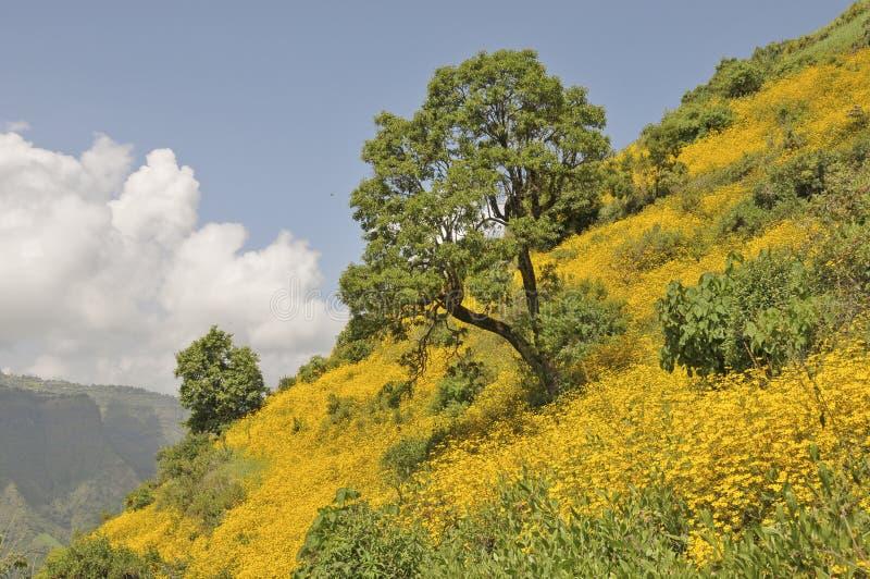 Зацветая Эфиопия стоковое изображение rf