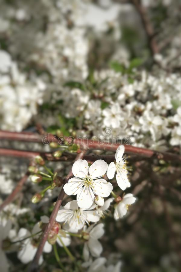 Зацветая яблоко вишни, персик на ветви стоковые фотографии rf