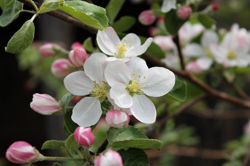 зацветая яблоня стоковая фотография