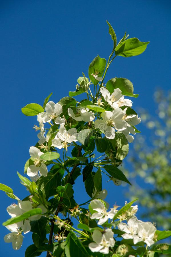 Зацветая яблоня в парке города на солнечный весенний день стоковое изображение