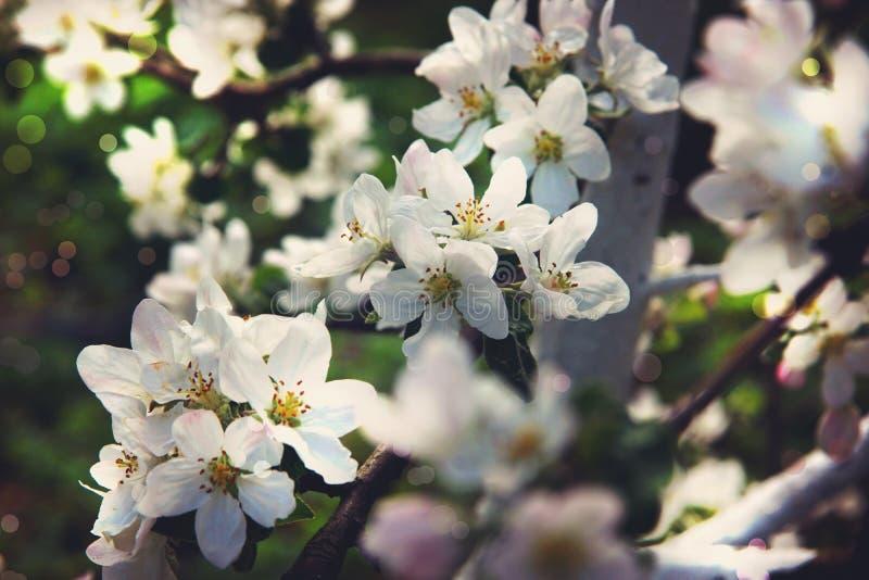 Зацветая яблоня в саде на весенний день стоковые фотографии rf