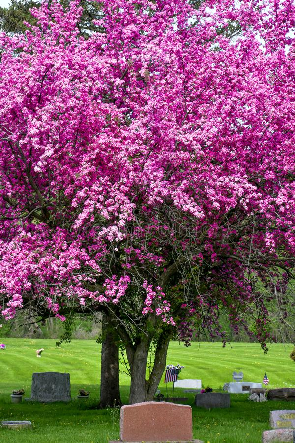 Зацветая яблоня краба с пурпурными цветками в кладбище стоковое фото rf