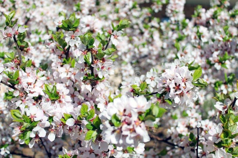 Зацветая яблоня на ясный весенний день стоковая фотография