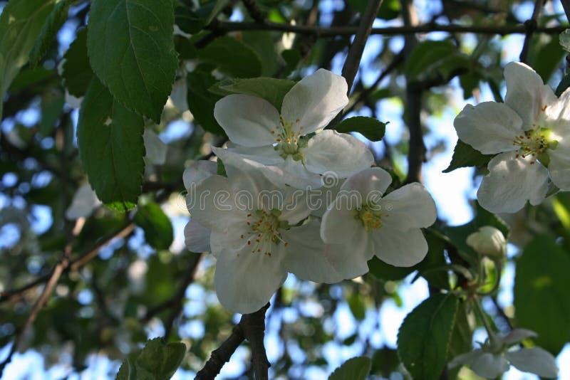 Зацветая яблоня в весеннем времени стоковое изображение