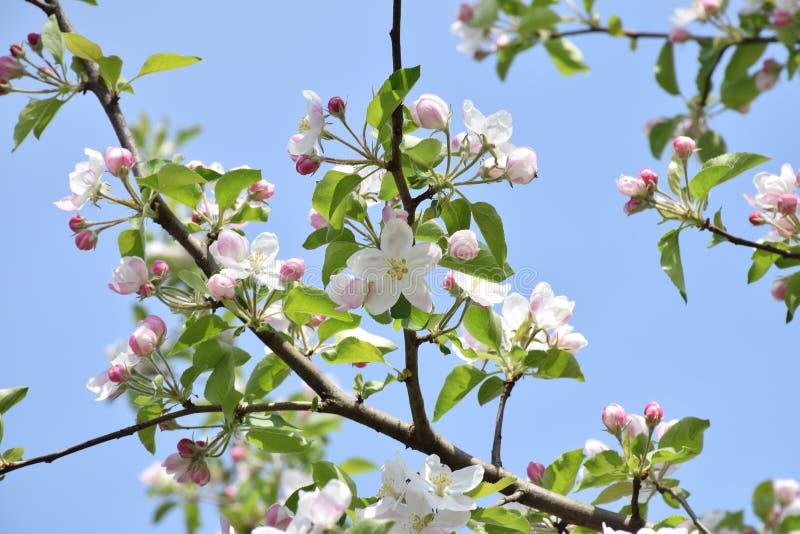 Зацветая яблоня против неба Весна начинать новый стоковая фотография