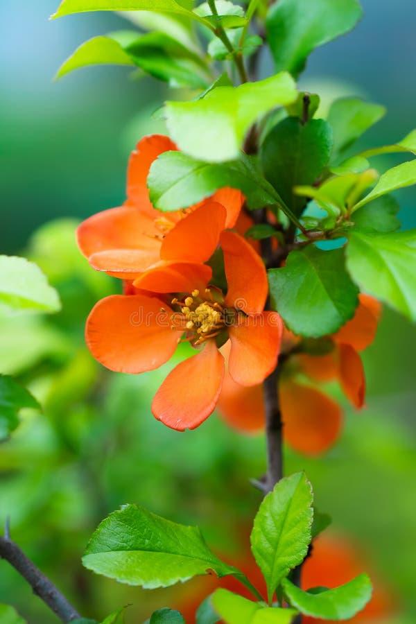 Зацветая японская айва с яркими цветками стоковые изображения rf