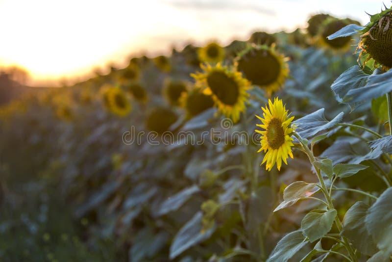 Зацветая яркое желтое зрелое поле солнцецветов Земледелие, добыча нефти, красота концепции природы стоковое фото