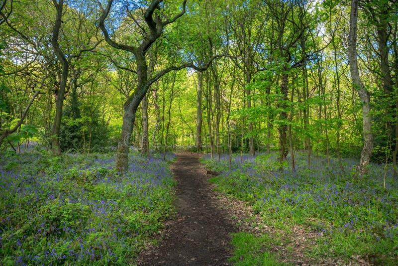 Зацветая Bluebells цветут весной, Великобритания стоковые фотографии rf