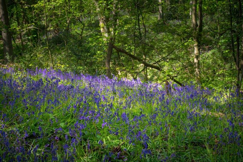 Зацветая Bluebells цветут весной, Великобритания стоковое фото