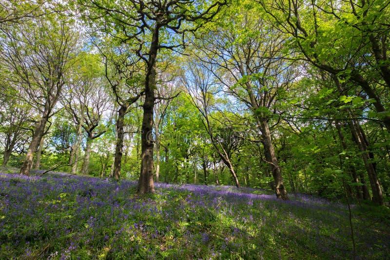 Зацветая Bluebells цветут весной, Великобритания стоковое изображение rf