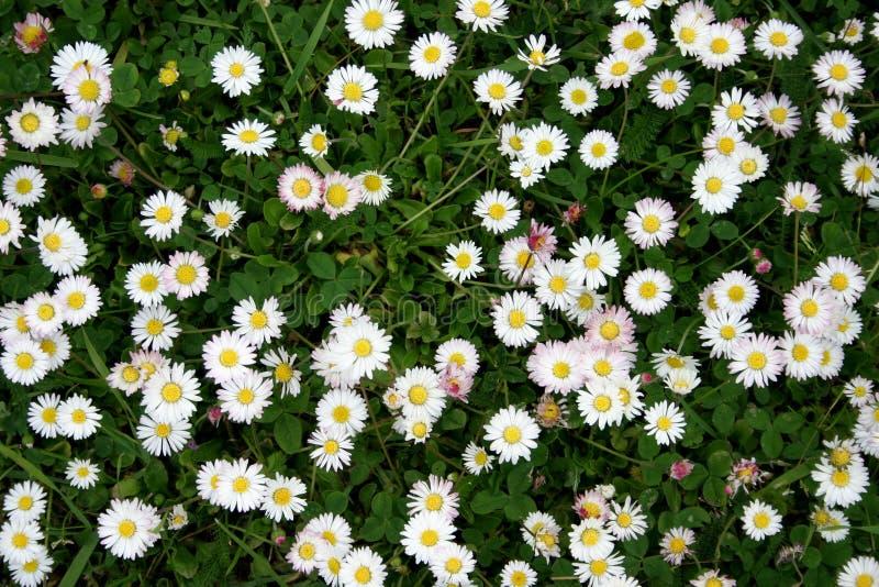 Download зацветая dasies стоковое фото. изображение насчитывающей весна - 487598
