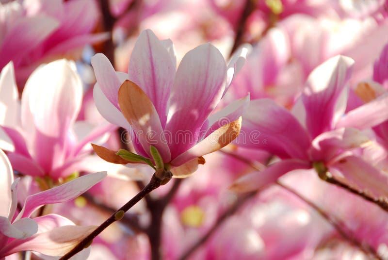 зацветая magnolia стоковое фото